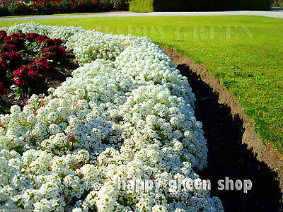 ALYSSUM - 1600 seeds - CARPET OF SNOW - Lobularia Maritima - flower