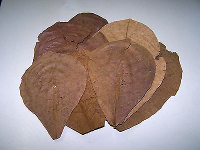 10 Grade B Indian Almond (Catappa) Leaves (12-25+cm) - Shrimp, Bettas, Discus
