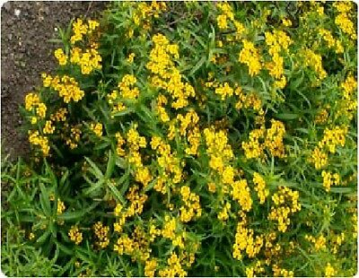 Herb - Mexican Tarragon Mint - Tagetes Lucida - 100 Seeds - Economy