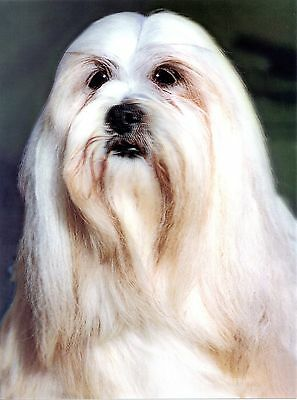 Lhasa Apso 3D Wall Art/Picture