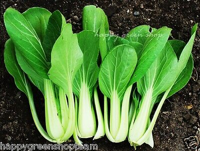 CABBAGE CHINESE PAK CHOI - 1700 SEEDS White  Brassica chinensis vegetable fruit