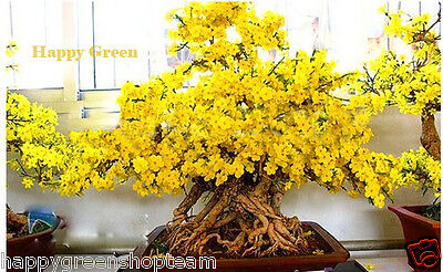 WINTERSWEET - Chimonanthus praecox - 10 SEEDS - GREAT FOR BONSAI