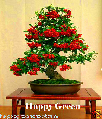 SCARLET FIRETHORN - 100 seeds - Pyracantha coccinea -  For Bonsai or garden tree