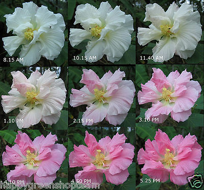 CONFEDERATE ROSE - 30 SEEDS - Hibiscus mutabilis - amazing color change flower
