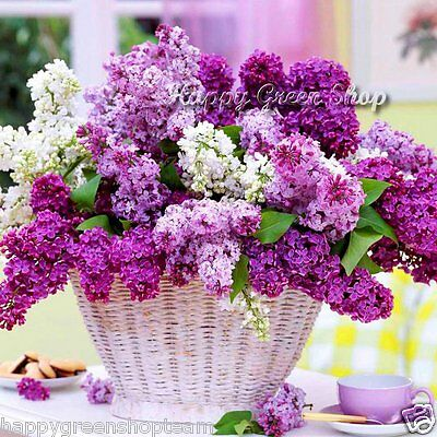 FRENCH LILAC - Syringa vulgaris - 40 SEEDS - WINTER HARDY - Excellent for bonsai