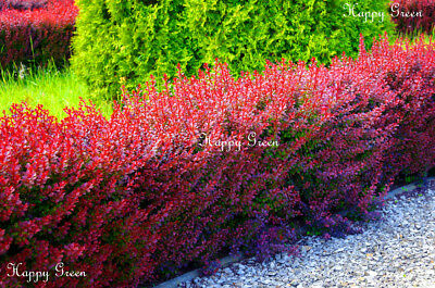 RED BARBERRY - Berberis thunbergii - atropurpurea  - 60 seeds - Great for bonsai