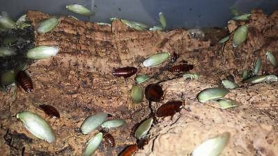 30x  Adult Green Banana Cockroach - Panchlora sp. 'Giant' - Live Food