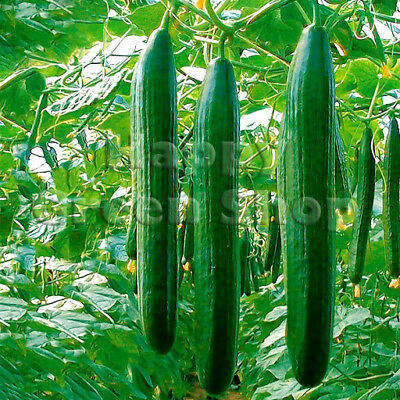 Vegetable Cucumber Saturn F1 5 Finest Seeds