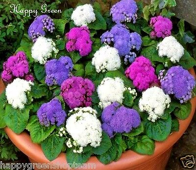 SPECIAL MIX Ageratum - 2400 seeds - FLOSS FLOWER DWARF - SEPARATE THREE COLOURS