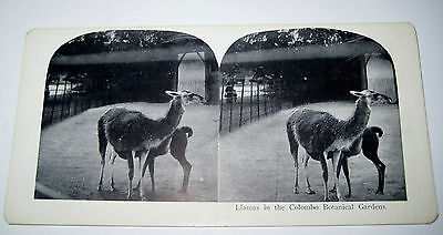Antique Stereoview Card LLAMAS IN THE COLOMBO BOTANICAL GARDENS Late 1800s