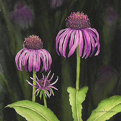 """Framed """"Coneflower"""" limited edition watercolr giclee by Christina Reichow"""