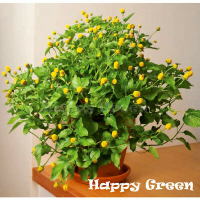 TOOTHACHE PLANT - 400 SEEDS - Spilanthes Oleracea - Perennial Flower Herb