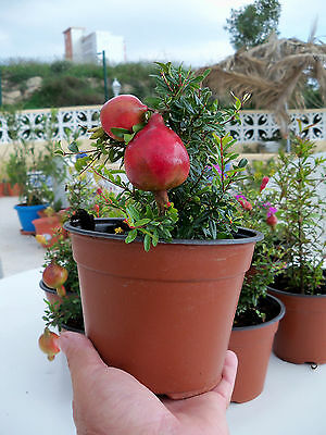 punica granatum nana - 25 seeds from our pomegranate tree in spain