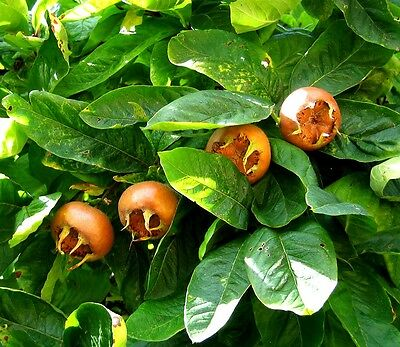 MEDLAR - 10 seeds -  Mespilus germanica - ornamental shrub seeds