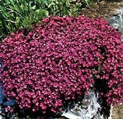Rock Cress Seeds Aubrieta Seeds Cascade Red 1,000 BULK SEEDS