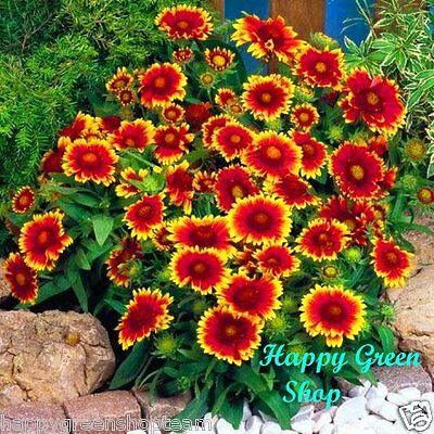 BLANKETFLOWER DWARF BICOLOR - 300 seeds - Gaillardia aristata - PERENNIAL FLOWER