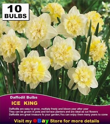 FREESIA BULBS - GIANT  MIX - Double - 20x  BULBS