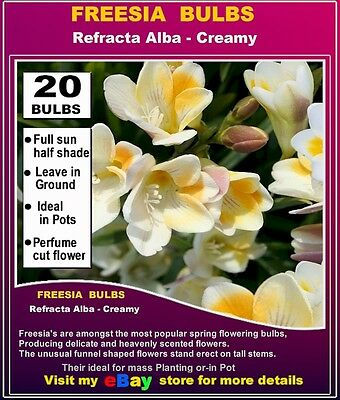FREESIA BULBS - Original Reftractra  Alba - 20x BULBS