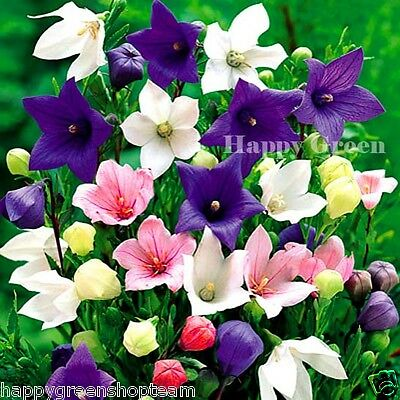 BALLOON FLOWER MIX  - 200 seeds - bellflower Platycodon - PERENNIAL ALPINES