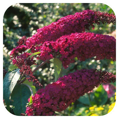 Buddleia Royal Red Butterfly Bush Shrub Large Plug Plant