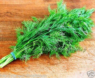 HERB - DILL - 8000 seeds - 12.8 grams - Anethum Graveolens - INTENSIVE FRAGRANT