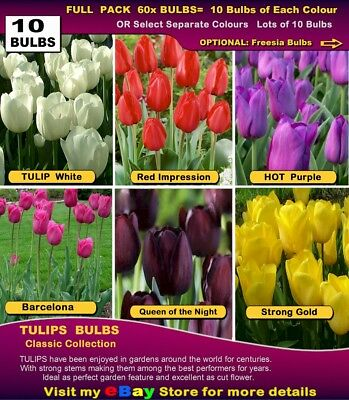 TULIP BULBS: Most Popular Classic Tulips- (PACK of  60x BULBS)