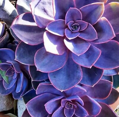 Purple Echeveria Seeds - Exotic Garden Plant - Rare & Colorful - Fresh Seeds