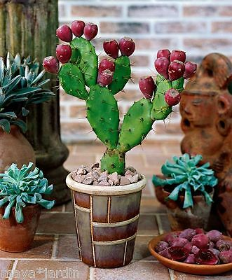 10 Graines Cactus Fruits Comestibles (Opuntia anahuacensis) Prickly Pear Seeds