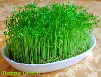 Sprouting seeds - LENTIL  Sprouts seeds 20 GRAMS