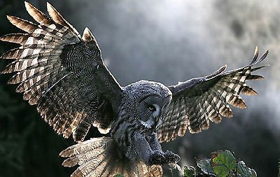 Framed Print - Owl Coming into Land (Picture Poster Art Bird of Prey Animal)