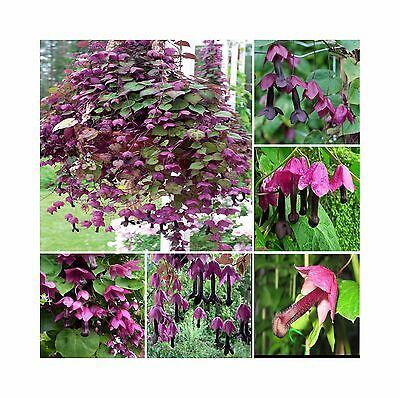 Rhodochiton Atrosanguineum * Purple Bell Vine * Rare Exotic Vine * 5 Seeds