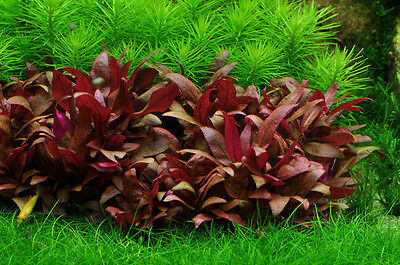 Pianta Piante Rossa Acquario Alternanthera Reibeckii Mini Live Aquarium Plant !