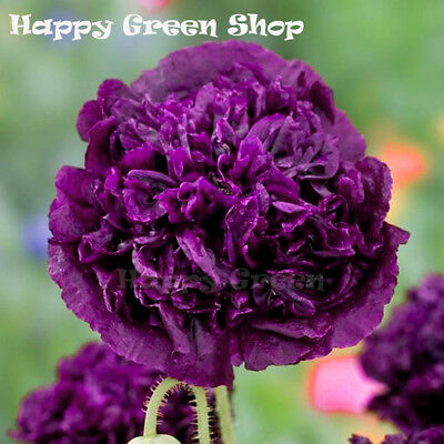 POPPY DOUBLE VIOLET BLUSH - Papaver somniferu - 500 seeds - ANNUAL FLOWER