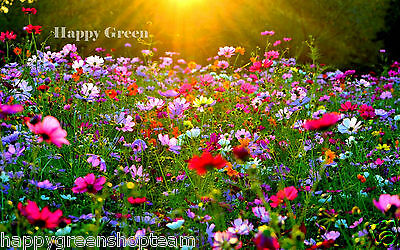 FLOWER MEADOW - WILDFLOWER MIX - 2g seeds for 2m² - PERENNIAL AND ANNUAL