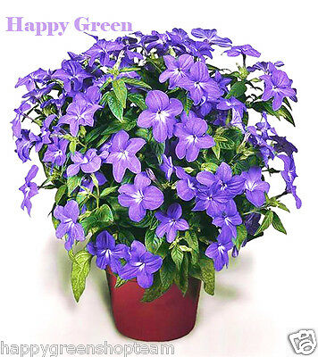 Browallia - Amethyst Flower - browalia americana - 400 seeds - Rare easy to grow