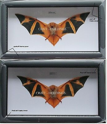 2 Frames of Orange Fire Bat Taxidermy- Real- Framed - Collectible - Viet Nam