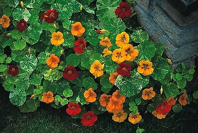 Flower - Nasturtium - Tom Thumb Alaska Mixed - 60 Seeds