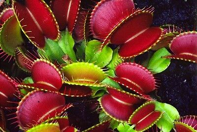 Carnivorous plant Dionaea muscipula, Venus Fly Trap, 30 seeds