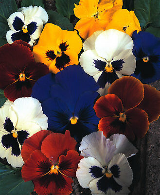 Flower - Pansy - Swiss Giants Mixed - 400 Seeds