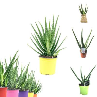 Aloe Vera Seeds Medicinal Herbal Succulent Household Plant Choose Quantity