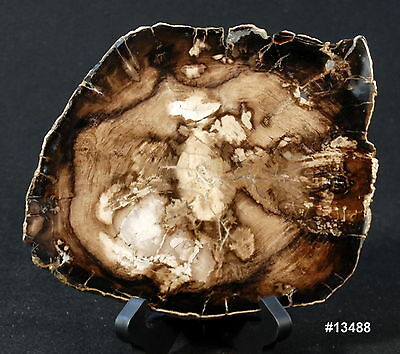 """Exquisite Petrfied Wood Round 9"""" @ widest 6 3/4"""" @ narrowest 1/2"""" thick, 2.2 lbs"""