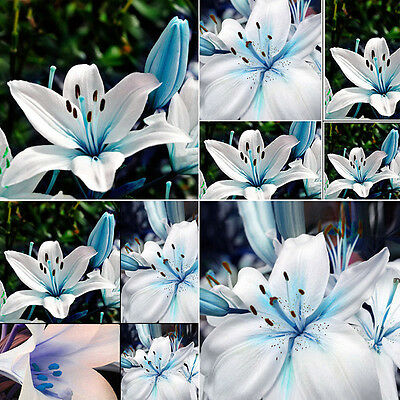 50pcs Oriental Natural Lily Blue White fragrant Garden Flower Bulbs Seeds plant