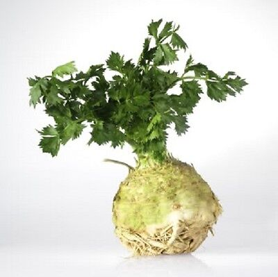 500 GIANT PRAGUE CELERIAC Apium Graveolens Rapaceum Vegetable Seeds *CombinedS/H