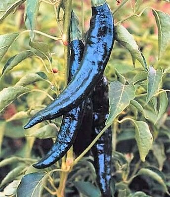 50 PASILLA BAJIO PEPPER Mexican Chile Negro Capsicum Annuum Vegetable Seeds