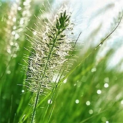 25 BOTTLEBRUSH GRASS Ornamental Shade Elymus Hystrix Patula Seeds *Combined Ship