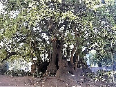5 ELEPHANT TREE Ombu Monkey Grape Umbra Phytolacca Dioica Red Berry Seeds