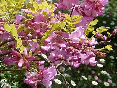 15 ROSE LOCUST / PINK ACACIA Flower Robinia Hispida Fertilis Tree Shrub Seeds