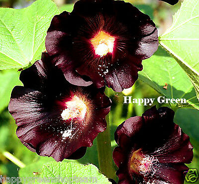 HOLLYHOCK BLACK - Althaea rosea nigra - 100 SEEDS - FLOWER
