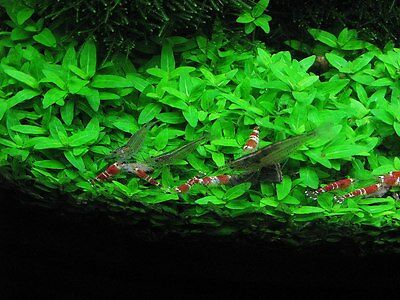 Staurogyne Repens Clump Live Aquarium Plants Foreground Carpet BUY2GET1FREE*
