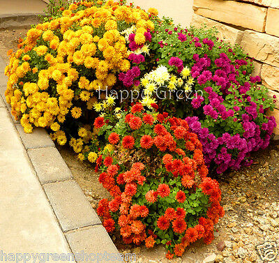 GARDEN MUM MIX - Chrysanthemum indicum hortorum - 300 SEEDS - Perennial Flower